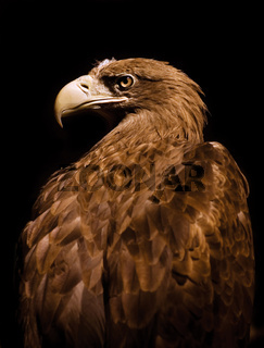 Aquila chrysaetos Golden eagle head portrait