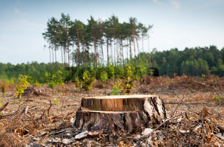 Woods logging and stump of deforestation hack