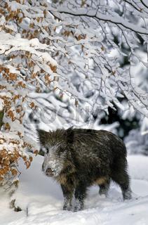 Wildschweinueberlaeufer im Winter steht sichernd am Waldrand - (Wildschwein - Schwarzwild) / Young Wild Boar in winter standing observing at a forest edge - (Feral Pig - Wild Hog) / Sus scrofa