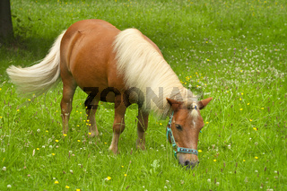 Shetlandpony Willy