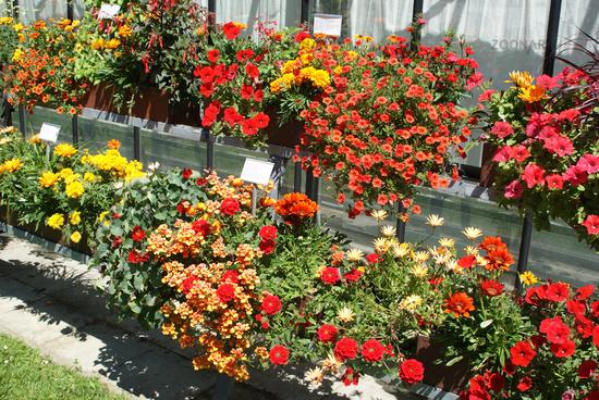 Foto Balkonblumen Rot Red Flowers Bild 8092410