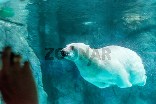 Polar Bear (Also known as Thalarctos Maritimus