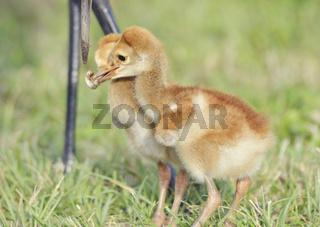 Sandhill Cranes Feeding