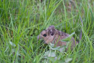 junge Maus sitzt im Gras - Nahaufnahme
