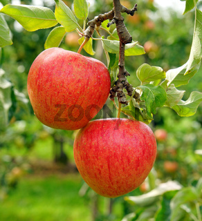 Two delicious red apples in the summer garden