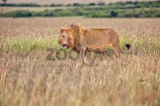 beautiful lion in the bush at the masai mara national park kenya