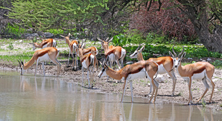 Springböcke am Wasserloch , Etosha, Namibia, Antidorcas marsupialis, Springboks