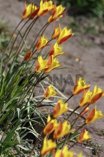 kleine gelbe Tulpen