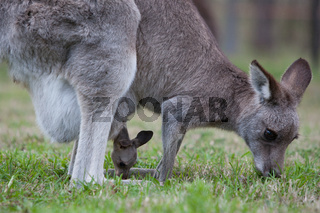 Kangaroo and her joey