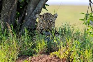portrait of a leopard at the masai mara national park