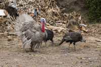 Blue slate turkey gobblers strutting with two hens.