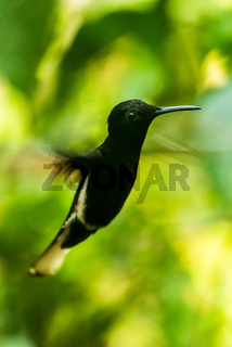 Black jacobin with blurred wings among leaves