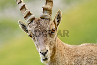 Portrait of ibex