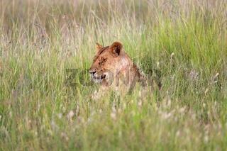 a lioness resting in tha grass at masai mara national park