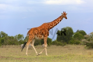 masai giraffe at the samburu national park kenya