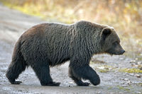 Junger Grizzly Baer