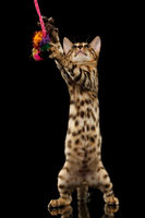 Bengal Kitty Stands and Playing with toy on Black