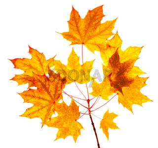 Maple autumn leaves isolated on white background.