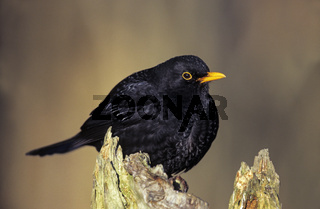 Amsel Maennchen sitzt auf einem Baumstamm - (Schwarzdrossel) / Common Blackbird adult male sits on a tree trunk - (Eurasian Blackbird - Merl) / Turdus merula