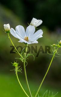 Cosmea im Sommergarten