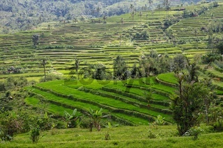 beautiful rice paddies at bali near ubud indonesia