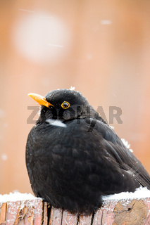 male of Common blackbird