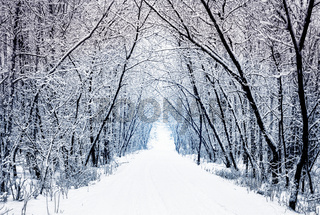Winter forest alley with trees