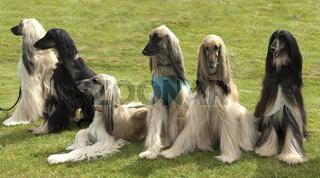 Afghanischer; Windhund