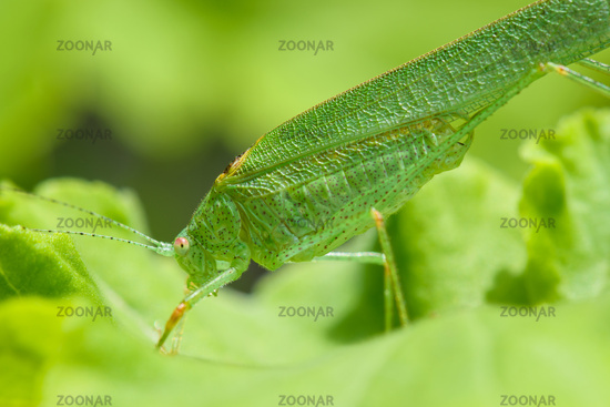 Profile view of a green grasshopper