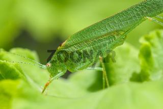 Profile view of a green grasshopper
