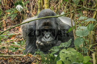 Starring Silverback Mountain gorilla in the Virunga National Park