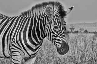portrait of a zebra at the kruger national park south africa