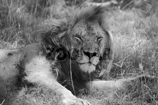 portrait of a lion resting at the masai mara national park kenya africa