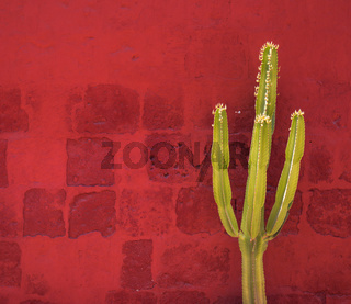 Green Cactus over red wall, Santa Catalina Monastery, Arequipa, Peru