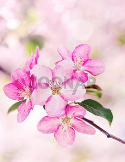 pink apple flowers, bloom