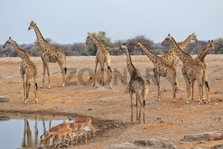 height giraffes at etosha national park namibia