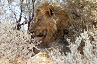 a lion in the bush at kgalagadi national park