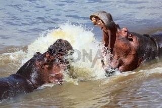 hippo's fight at the masai mara national park kenya