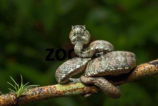 Adulte giftige Viper (Bothriechis schlegelii)