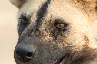 close up of african wild dog