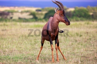portrait of an hartebeest at the masai mara national park