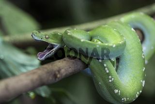 Morelia viridis,gruener Baumpython, Green Python, Green Tree Python,