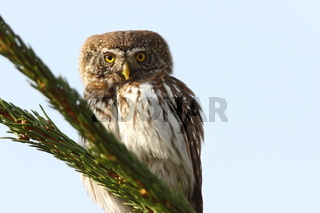 eurasian pygmy owl perched on spruce ( Glaucidium passerinum )