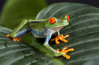 Red Eyed Tree Frog on Foliage