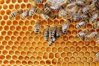 Honigwabe mit Sammelbienen