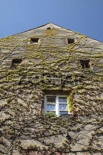 Wilder Wein wächst an der Hausfassade in der Altstadt von Staufen
