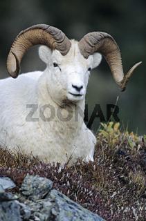 Dall-Schafwidder beobachtet den Fotografen - (Alaska-Schneeschaf) / Dall Sheep ram looking towards to the photographer / Ovis dalli