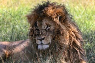 portrait of a the lion named scarface at the masai mara national park kenya