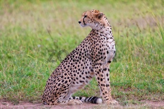 a beautiful cheetah resting at the masai mara