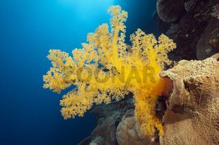 Gelbe Weichkoralle, Australien